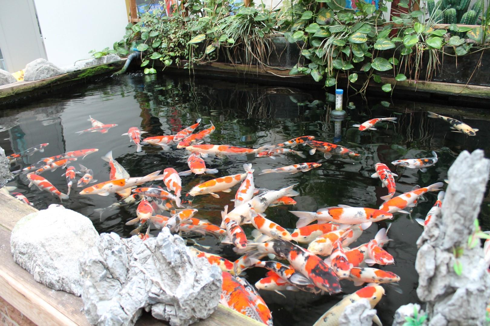 Koi das aquarium for Koi pond aquarium