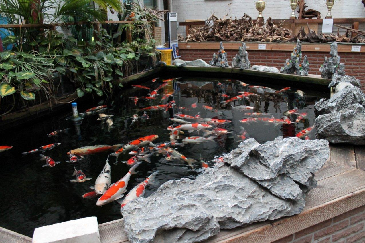 Das aquarium bildergalerie koi for Koi im aquarium